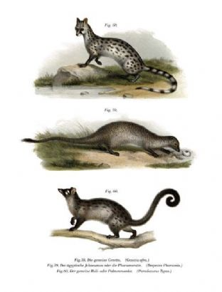 Common Genet - Small-Spotted G (Genetta Afra) & Egyptian Mongoose  (Herpestes Ichneumon) & Paradoxure or Palm-Cat  (Paradoxurus Typus)